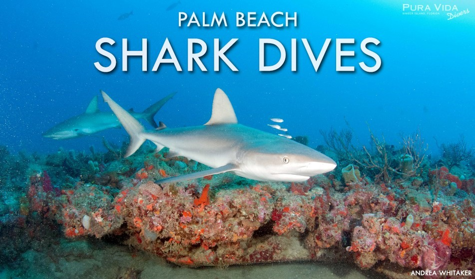 Palm Beach Shark Dive